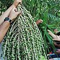Grappe palmier 2018 10 06