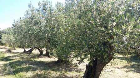 oliveraies_de_la_baillaury