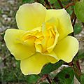 Rosier jaune Willemse