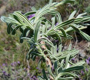 feuilles tomenteuses