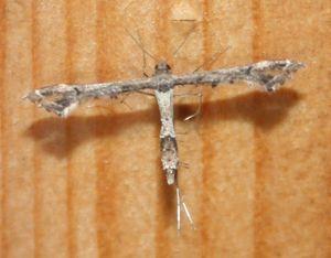 Pterophoridae sp