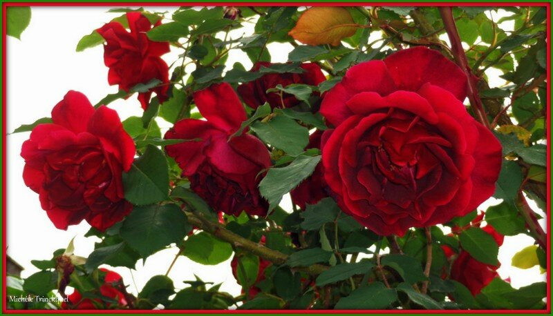Roses rouges 080515