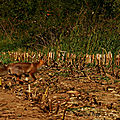 Le renard roux et des chevreuils 😀