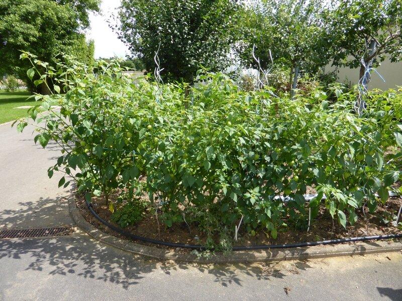 21-tomatillos (3)