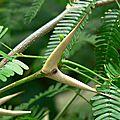 Les entraves sucrées de fourmis associées à des acacias