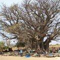 Baobab géant