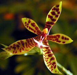 phalaenopsis_pantherina_