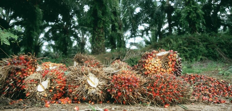 Harvested_oil_palm_fruit_bunches
