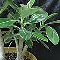 Adenium obesum, graines de rose du désert