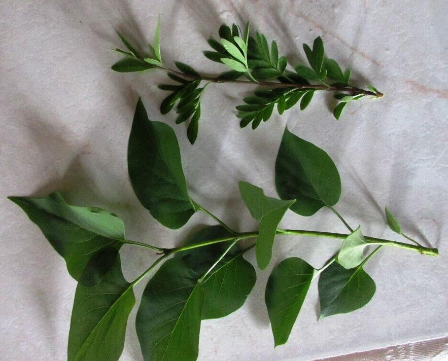 feuilles de lilas