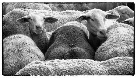 mouton copie