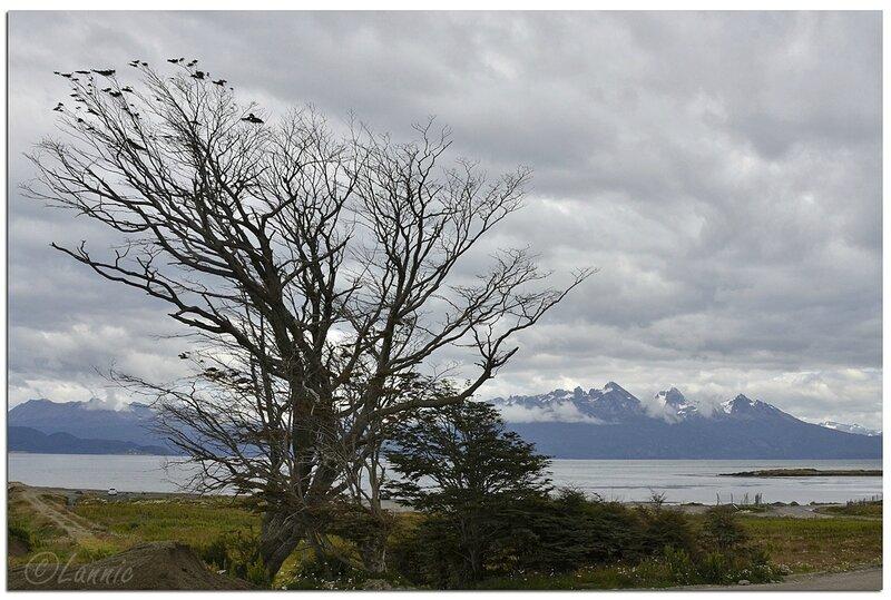 _Argentine_212_1_Ushuaia_arbre