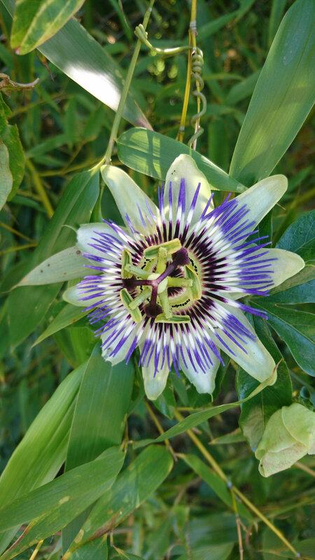 Fleur de la passion, une plante magique ...