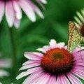 L'éphémère papillon