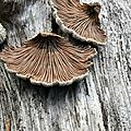 Schizophyllum commune (4)