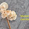 Marasmiellus candidus 2