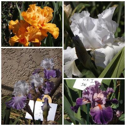 Iris du B 1 (20)