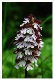 Orchis_pourpre