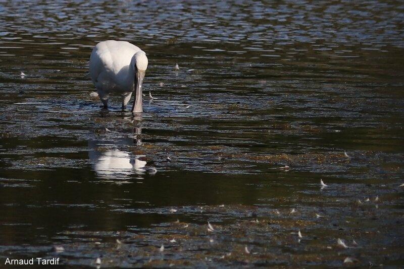 001665 Larmor-Baden - Le Golfe du Morbihan - L'étang de Kercadoret à St Philibert