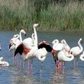Flamants roses 11