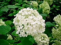 hortensia-hydrangea-arborescens-annabelle-1658-8c1