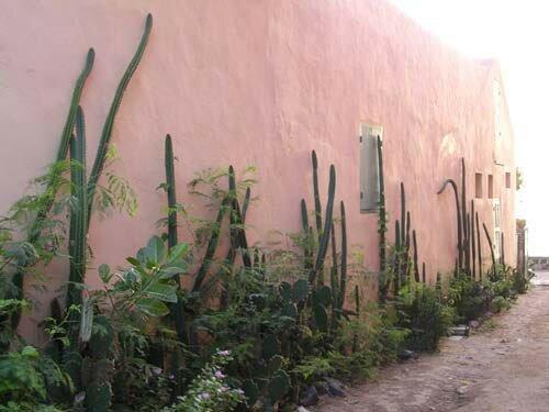 Mur de cactées