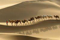 Cammelli_nel_deserto_del_Kumtag_in_Cina