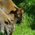 Kangourous en Auvergne