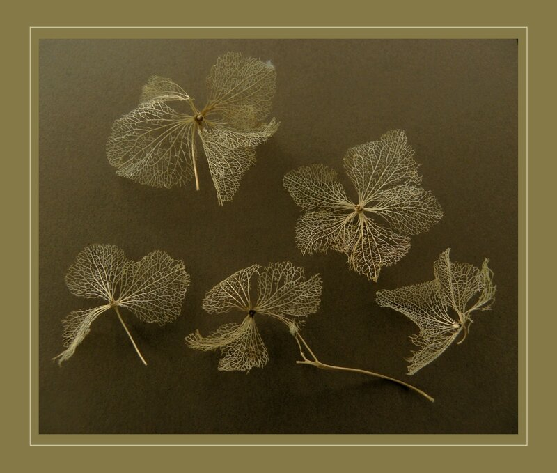 fleurs hortensias, séchées