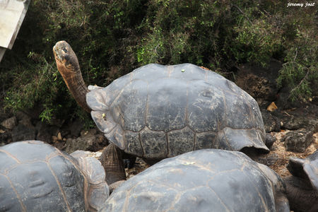tortue_g_ante_des_galapagos