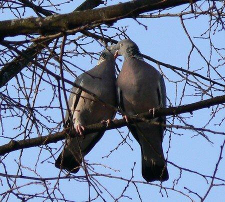 Pigeons_ramiers