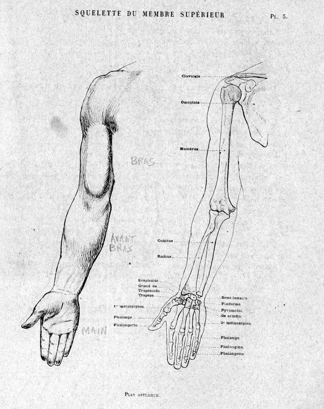 Os avant bras