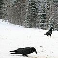Couple de grands corbeaux (parc polaire de chaux-neuve)