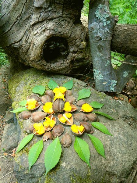 mandala de coques de paulovnia avec boutons d'or