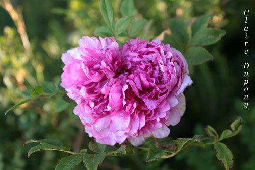 Rose de Gourdonb