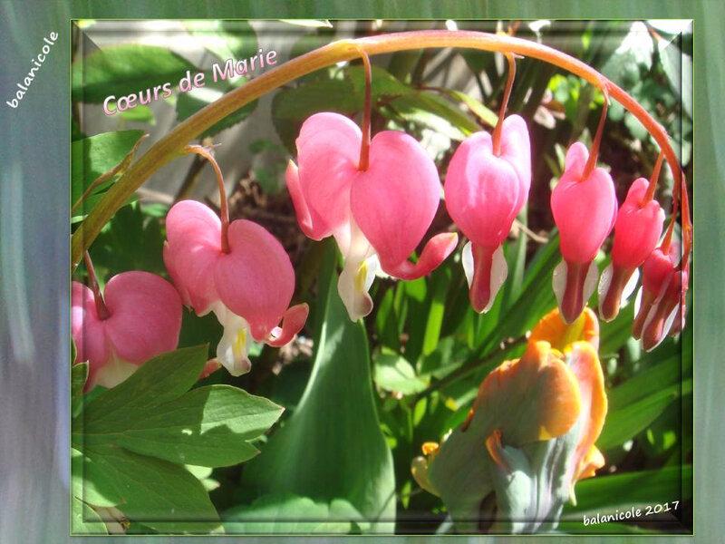 balanicole_2017_05_le printemps des tulipes_02_coeurmarie rose