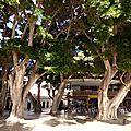 Ficus_La gomera_XRu