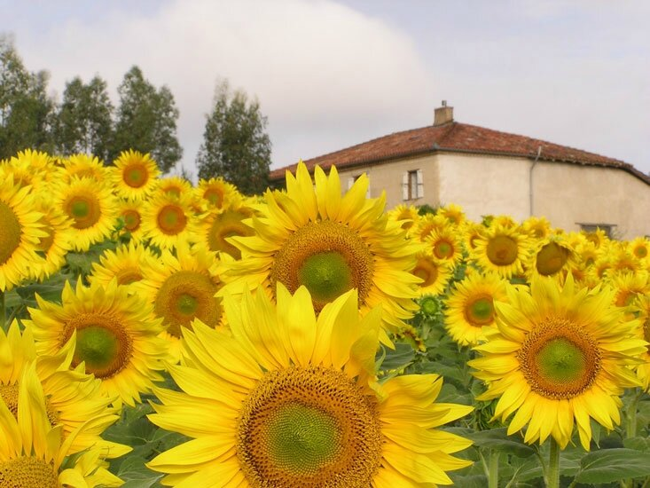 la-courtade-sunflowers-blog
