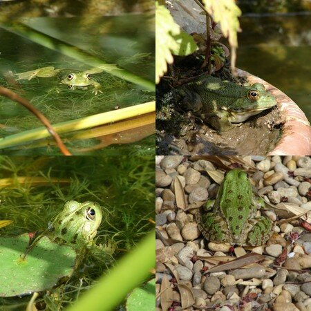 grenouille_2