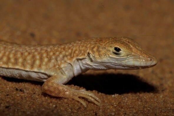Acanthodactylus longipes_XRu
