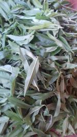 les feuilles de verveine