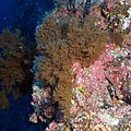 Corail noir_Anthipathes wollastoni_Las Galletas_XRu-2