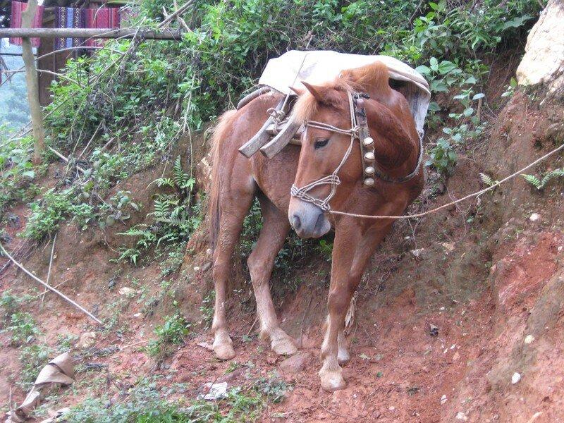 Un cheval à vendre au marché de Coc Ly