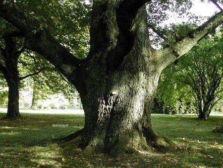 Quercus_robur__2_