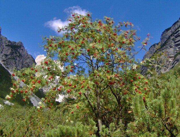 arbre rowan