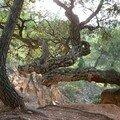 Chêne liège arbre tortueux
