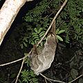 Choloepus didactylus