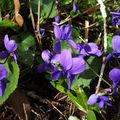 Virus et violettes