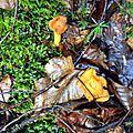 Cantharellus cibarius (1)