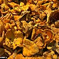Girolle • Cantharellus cibarius • Famille des Cantharellaceae